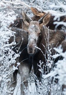 Canada Moose Winter