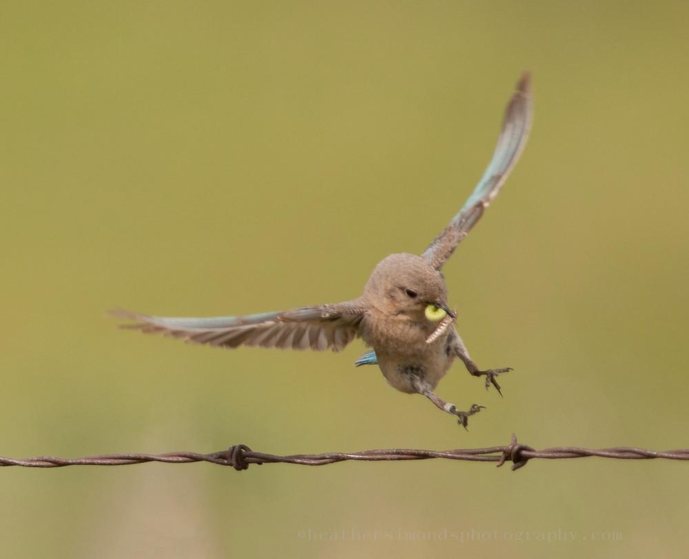 bird, birding, Glenbow, mountain bluebird