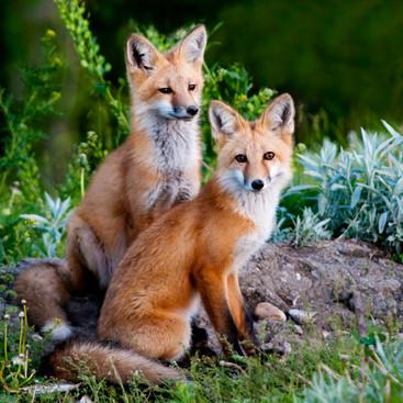 Two Red Fox.jpg