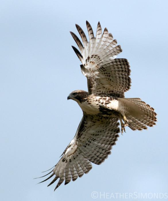 bird, birding, Glenbow, swainson hawk