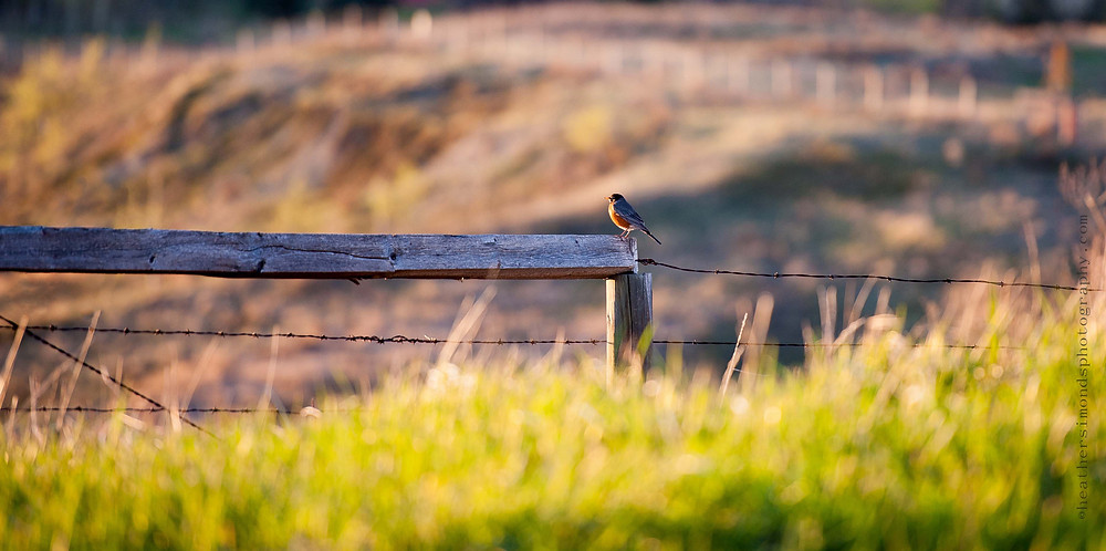 backyard, birds, american robin