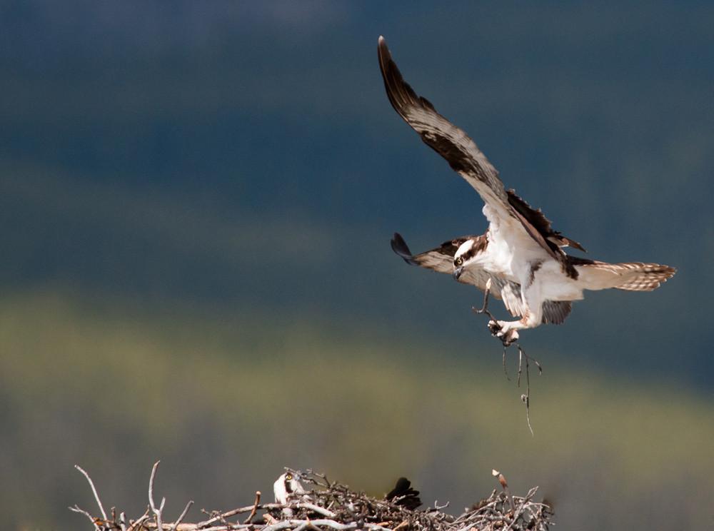 Bird, birding, Glenbow, osprey