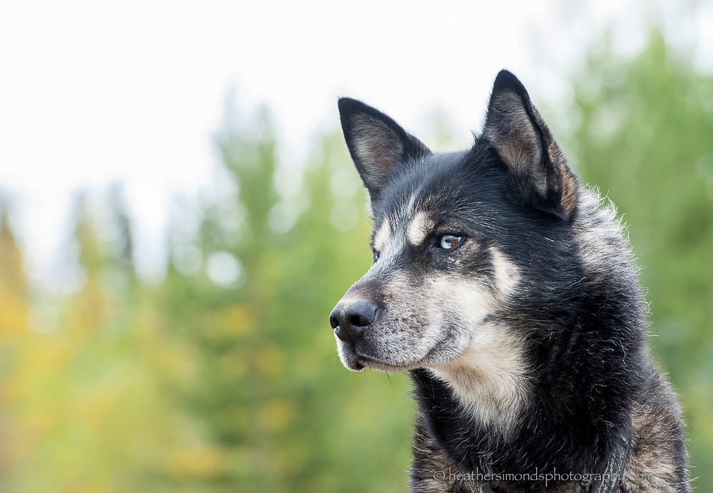 sled dog Yukon