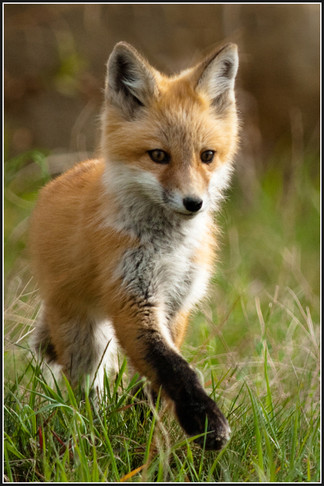 Fox Canadian kit wildlife