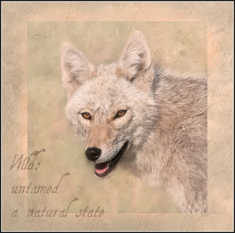 Canadian coyote wild