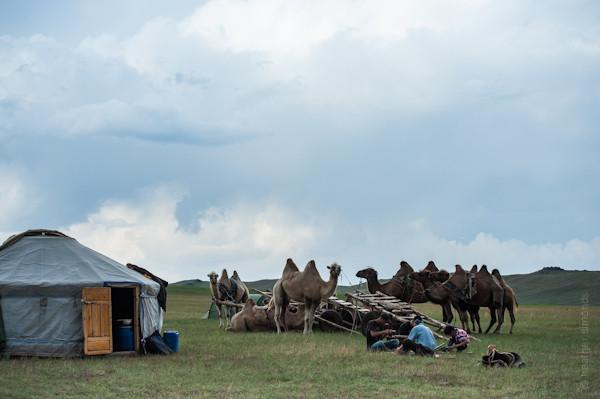 camel, Mongolia, Trans Siberian