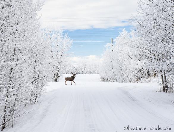 buck, Alberta, deer