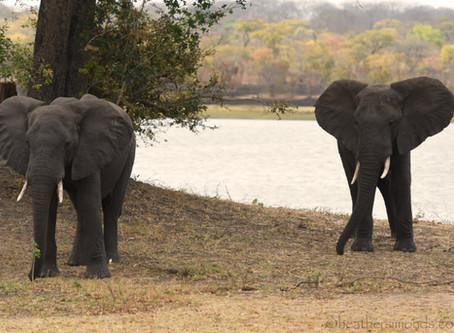 More Elephant Encounters at Lifupa Lodge, Kasungu, Malawi