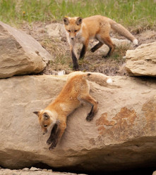 FoxKitswildlife.jpg