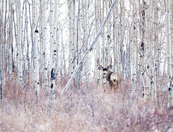 buck, deer, Glenbow