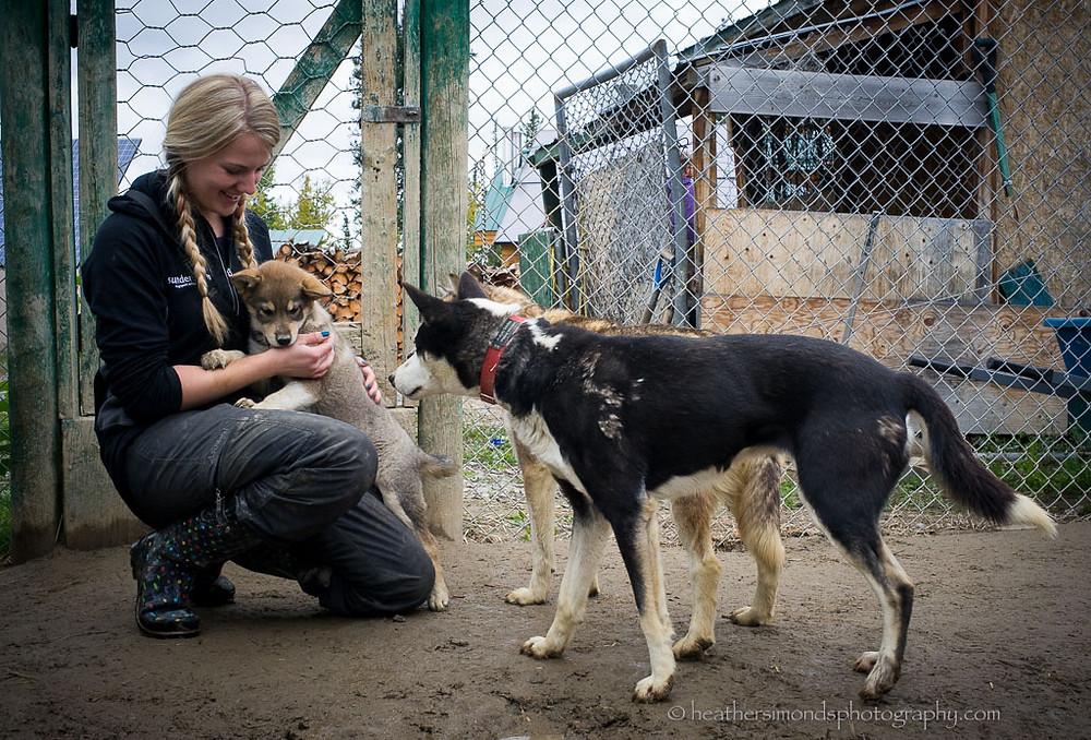 sled dog puppy Yukon