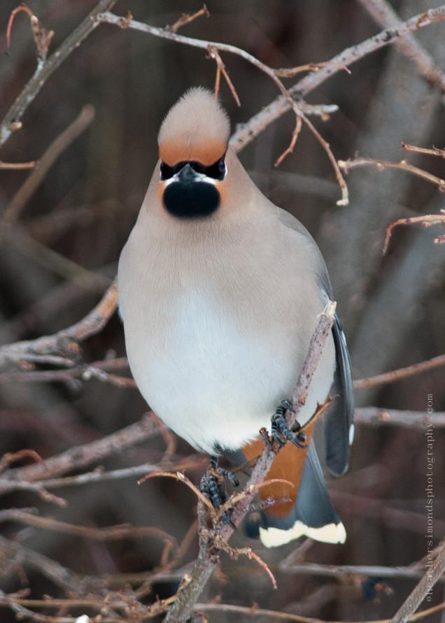 Bohemian waxwing Bird Winter
