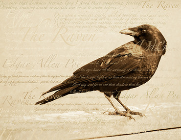 Raven Poe bird