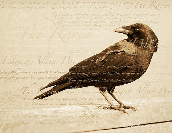 Poe raven bird wild