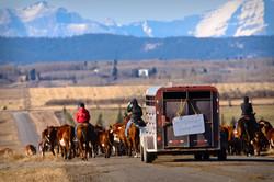 Cattle Crossing Alberta