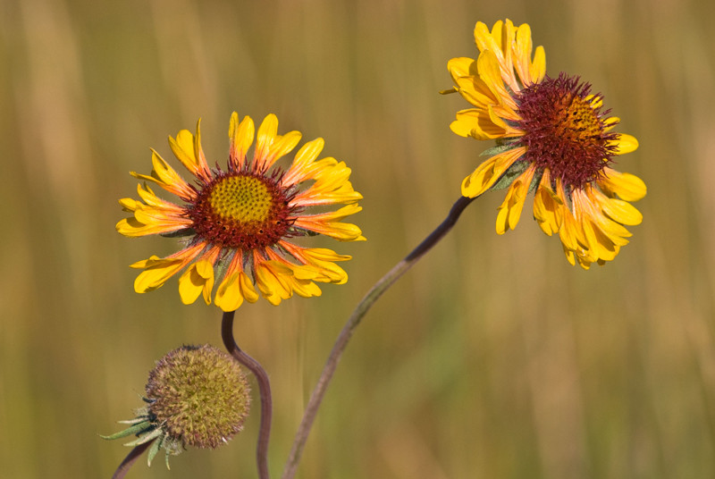 wildflowers, Glenbow Ranch, summer