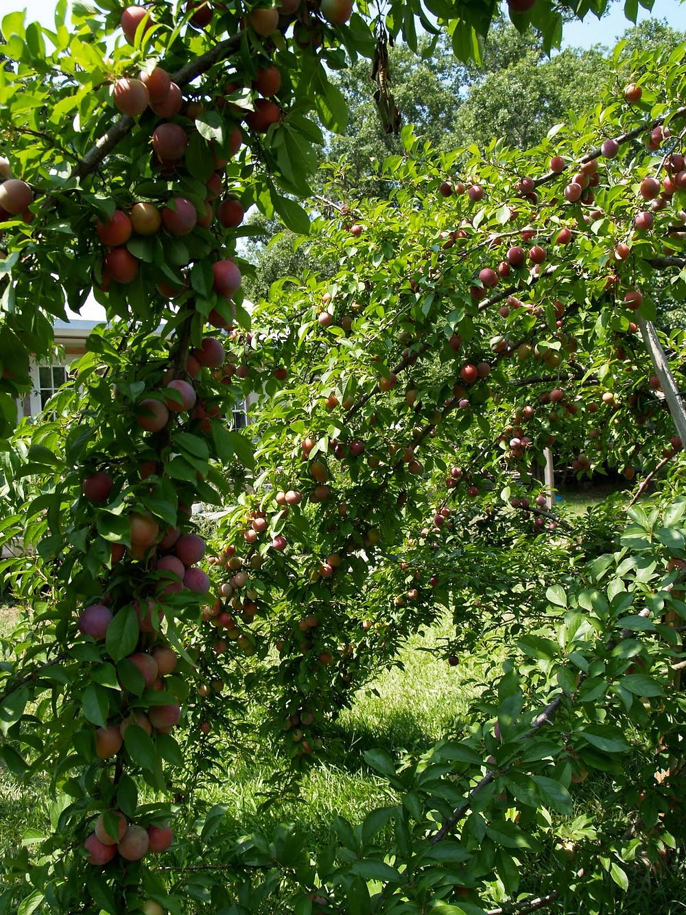 © Dan Schellenberg plum harvest4.jpg