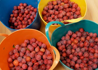 © Dan Schellenberg plum harvest.jpg