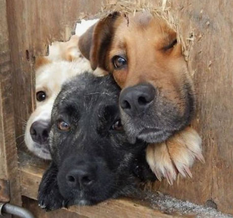 three dogs looking through fence.JPG