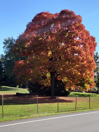Beautiful tree in the fall on Rock Run Road.