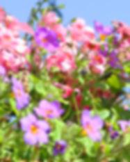 Lila und rosa hängende Blumen