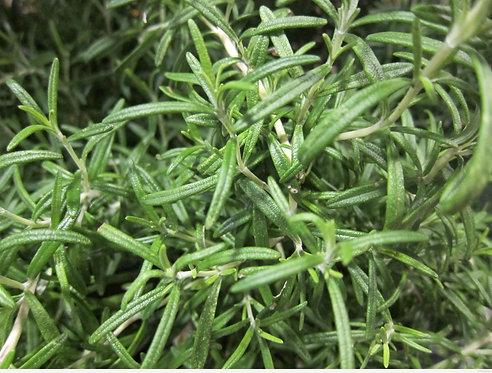 Plants: Rosemary