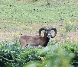 séjour de chasse au mouflon las illas chasse trabucayres