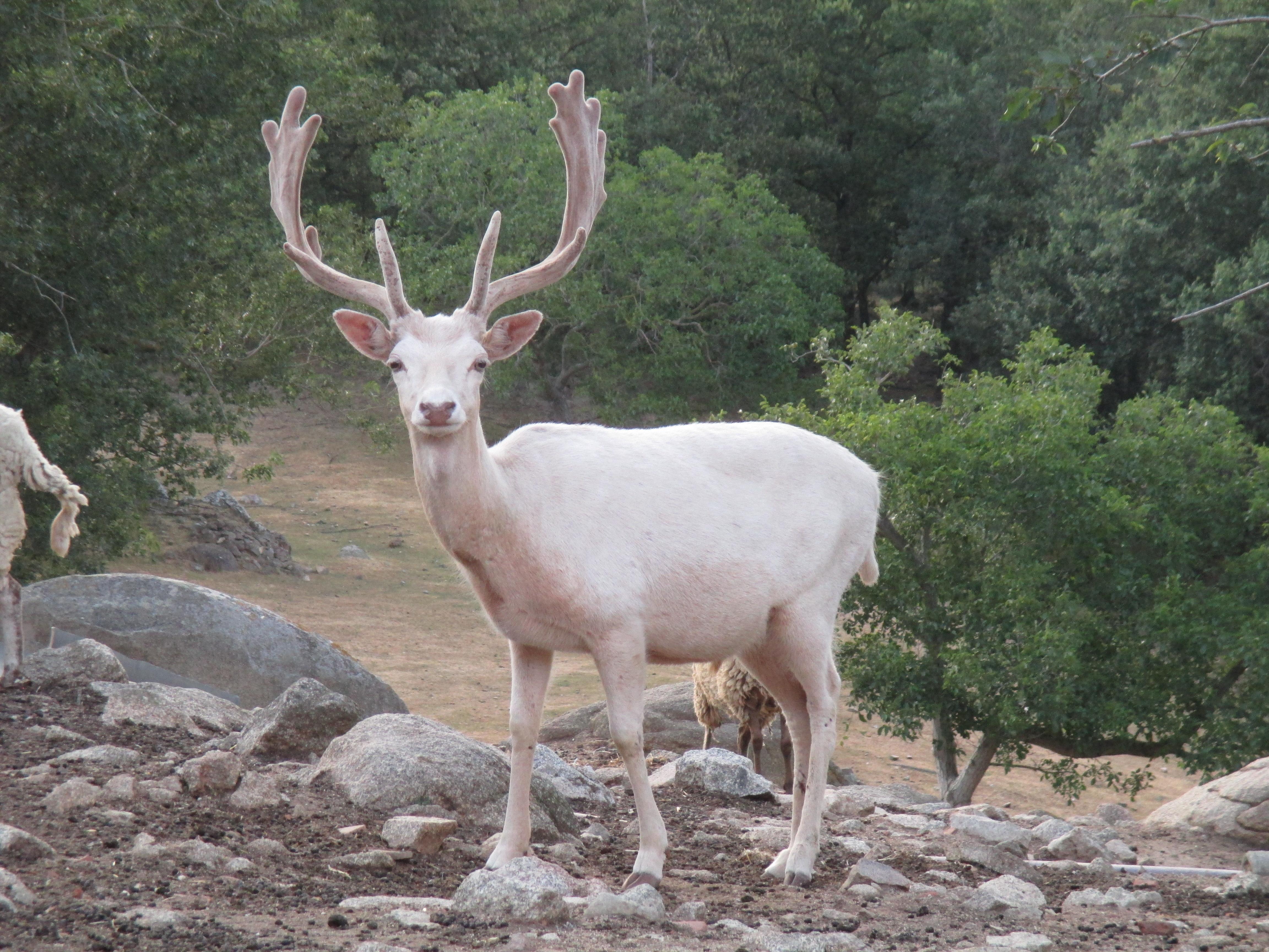 chasse daim blanc trabucayres