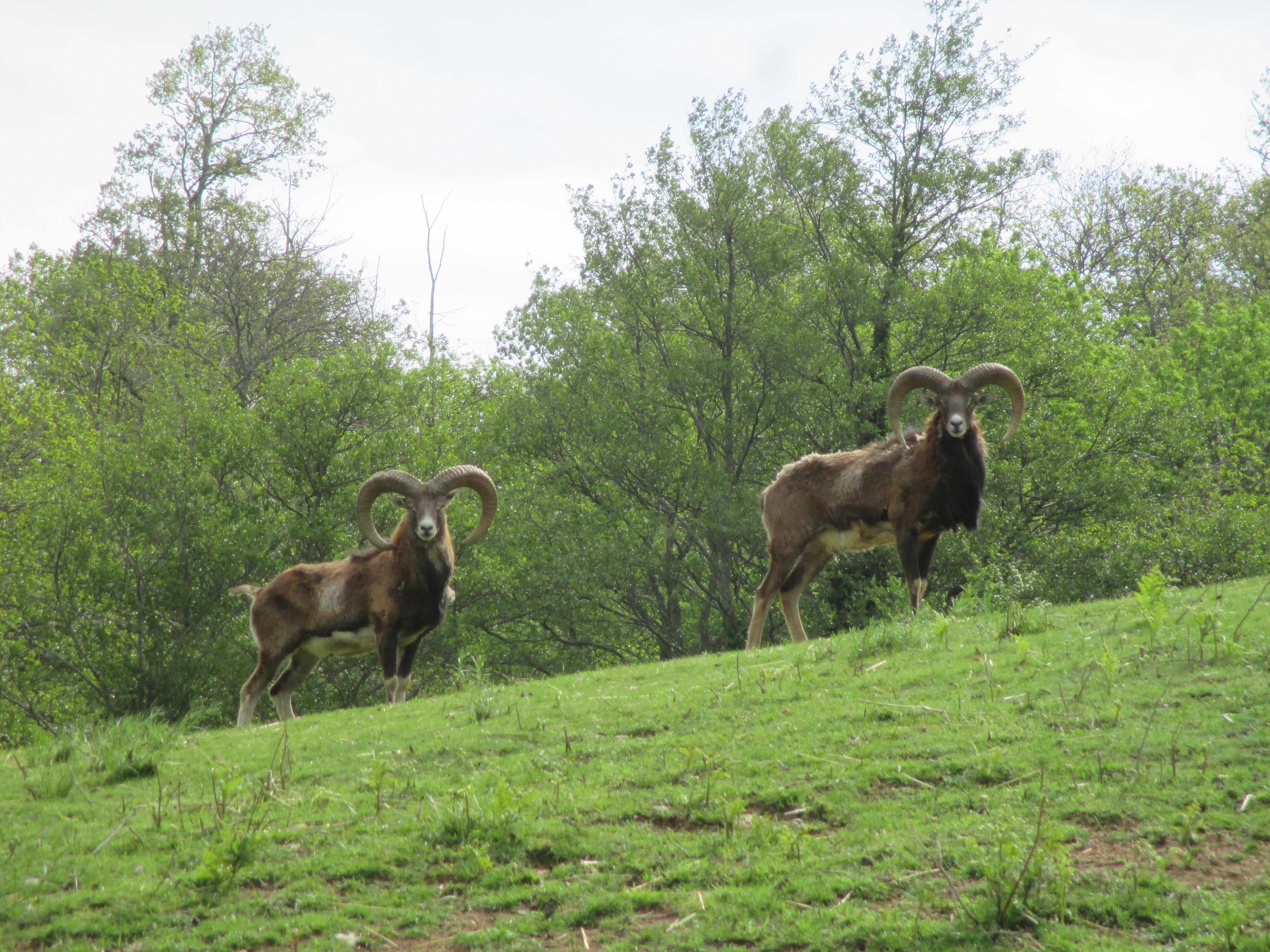 chasse trophée mouflon trabucayres