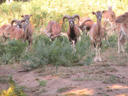 chasse mouflon battue trabucayres