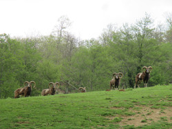 trophée mouflons chasse trabucayres