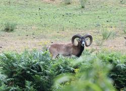 trophée chasse mouflon trabucayres