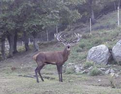 trophée chasse cerf élaphe trabucayr