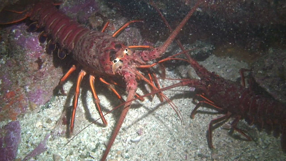 Catalina lobsters