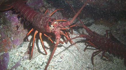lobster interacting NITE 2010-08-02-a.jpg