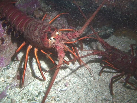 Spiny Lobster Season Opening Sept. 29