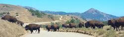 Bison on Catalina Island