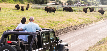 Jeep Tour to see bison on Catalina Island