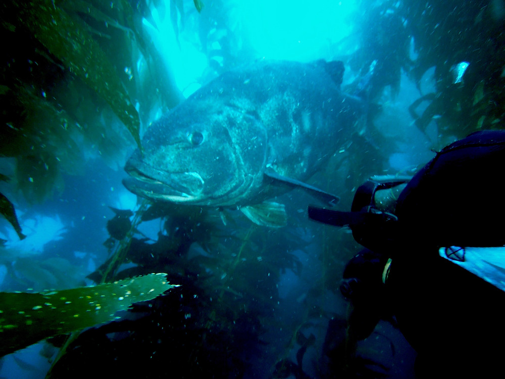 Catalina scuba diving with black sea bass
