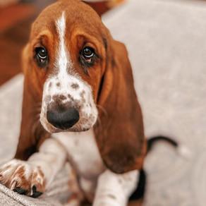 Pasmine -  Basset hound