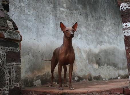 Pasmine - Meksički golokožni pas