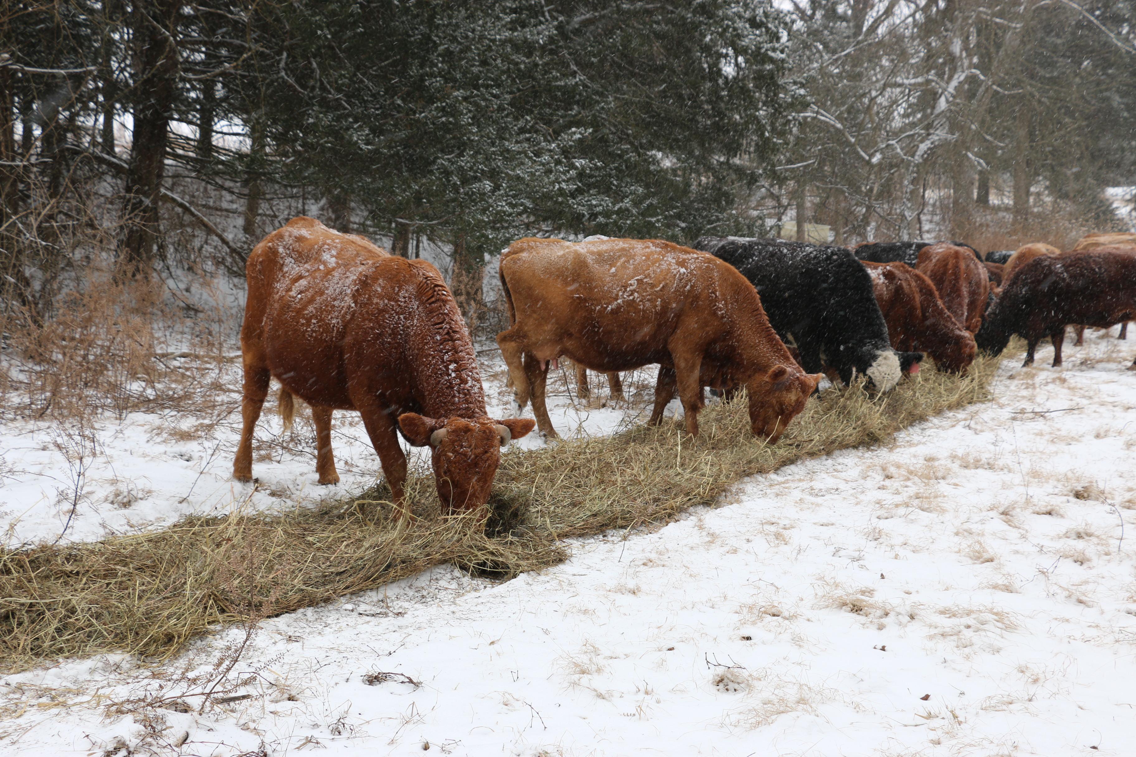 cattlefeeding.jpg