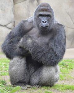 Gorilden Değerli mi?