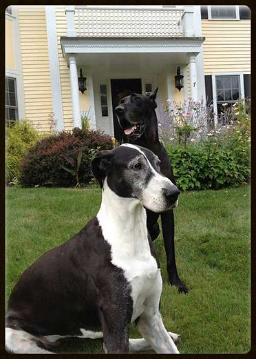 Foster a New England Great Dane in Need