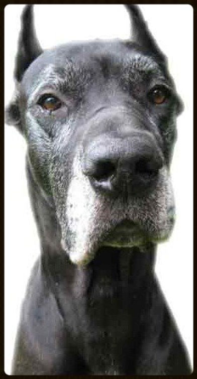 Report a Great Dane in Need