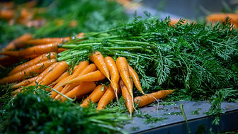 Carrots picked fresh from Moffatt Fresh