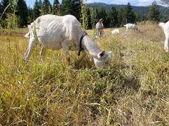 Bessie grazing