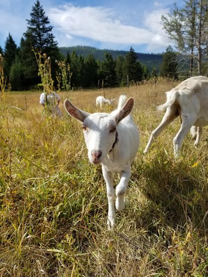 Majestic Rocky Mtn Goats