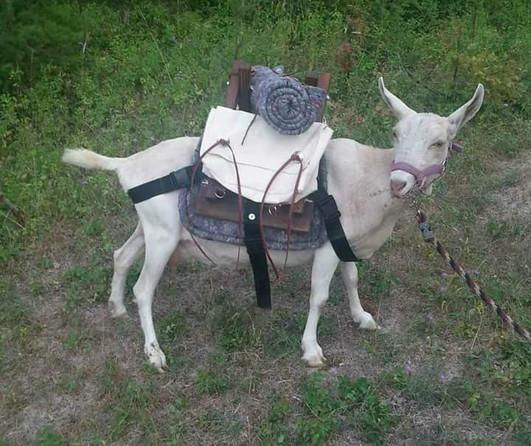 Bessie being a pack goat