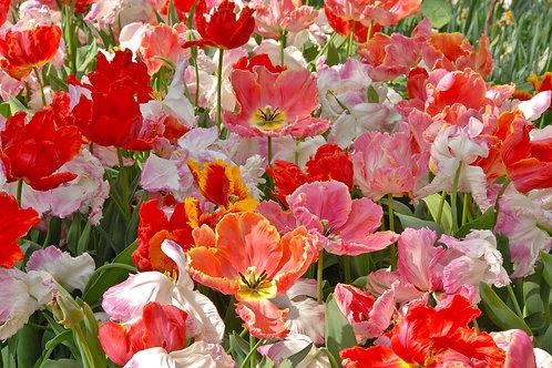 Tulip San Fran Mix